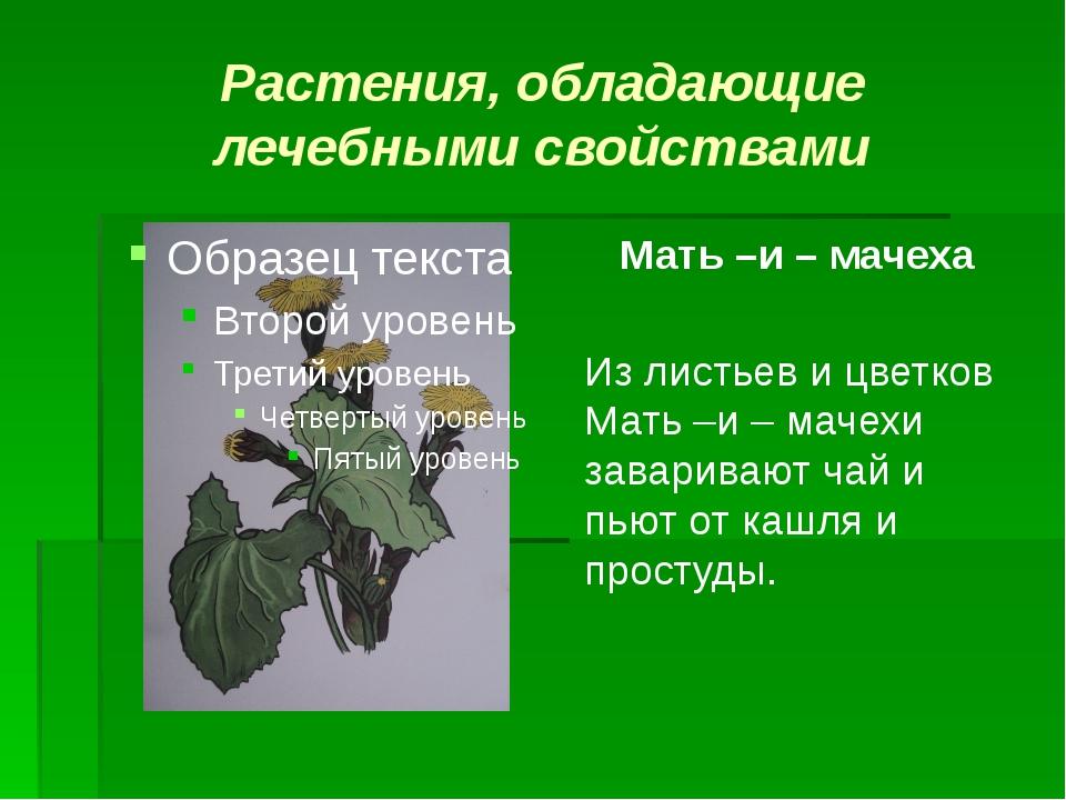 Растения, обладающие лечебными свойствами Мать –и – мачеха Из листьев и цветк...