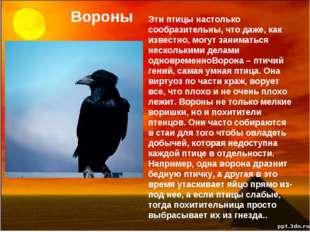 Вороны Эти птицы настолько сообразительны, что даже, как известно, могут зани