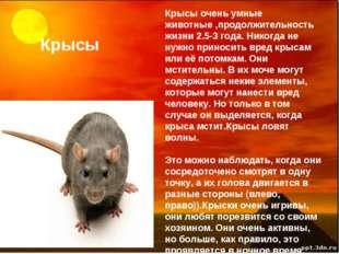 Крысы Крысы очень умные животные ,продолжительность жизни 2.5-3 года. Никогда