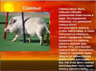 Свиньи Свиньи могут быть самыми умными домашними животными в мире. Исследован