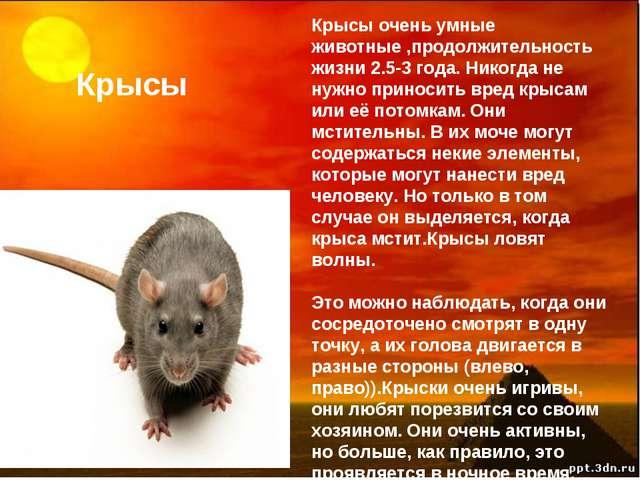 Крысы Крысы очень умные животные ,продолжительность жизни 2.5-3 года. Никогда...