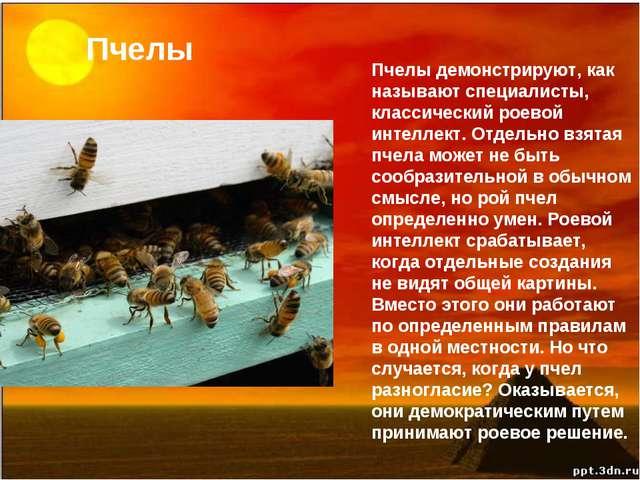 Пчелы Пчелы демонстрируют, как называют специалисты, классический роевой инте...