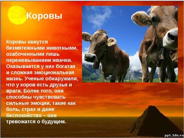 Коровы Коровы кажутся безмятежными животными, озабоченными лишь пережевывание...