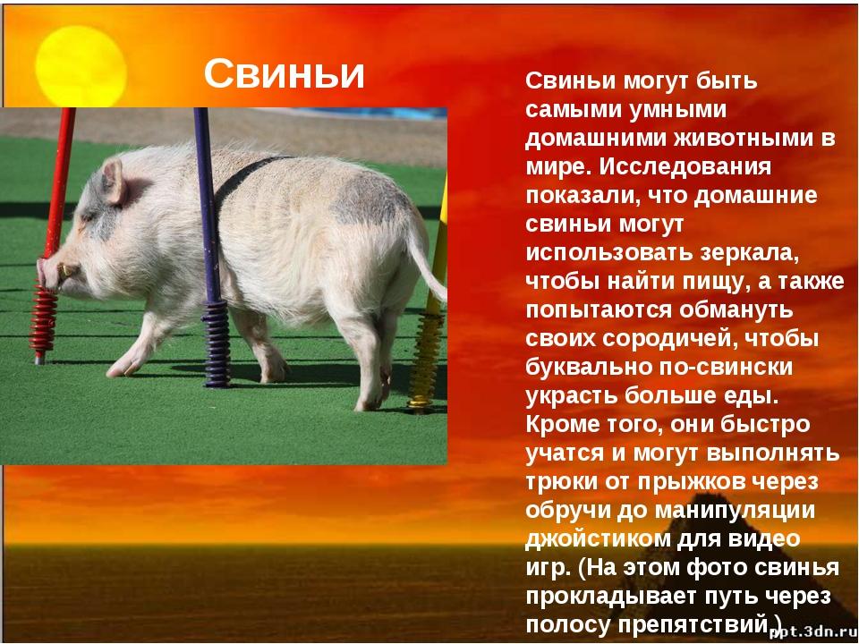 Свиньи Свиньи могут быть самыми умными домашними животными в мире. Исследован...