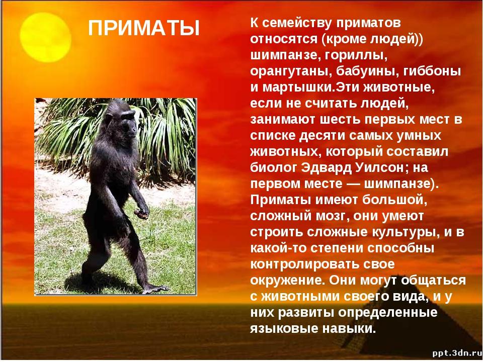 ПРИМАТЫ К семейству приматов относятся (кроме людей)) шимпанзе, гориллы, оран...