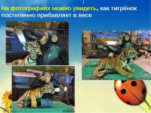 На фотографиях можно увидеть,как тигрёнок постепенно прибавляет в весе