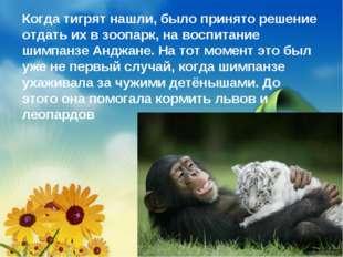 Когда тигрят нашли,было принято решение отдать их в зоопарк, на воспитание ш