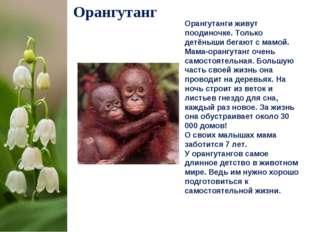 Орангутанг Орангутанги живут поодиночке. Только детёныши бегают с мамой. Мама