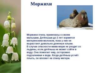 Моржихи Моржихи очень привязаны к своим малышам. Детёныши до 2лет кормятся м