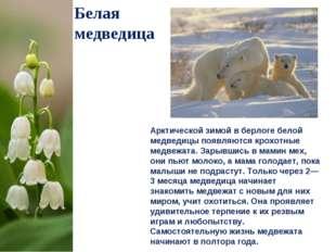 Белая медведица Арктической зимой в берлоге белой медведицы появляются крохот