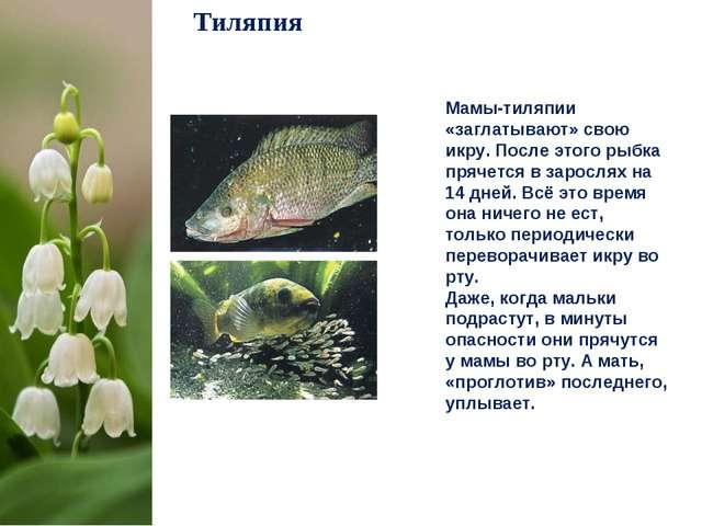 Тиляпия Мамы-тиляпии «заглатывают» свою икру. После этого рыбка прячется в за...