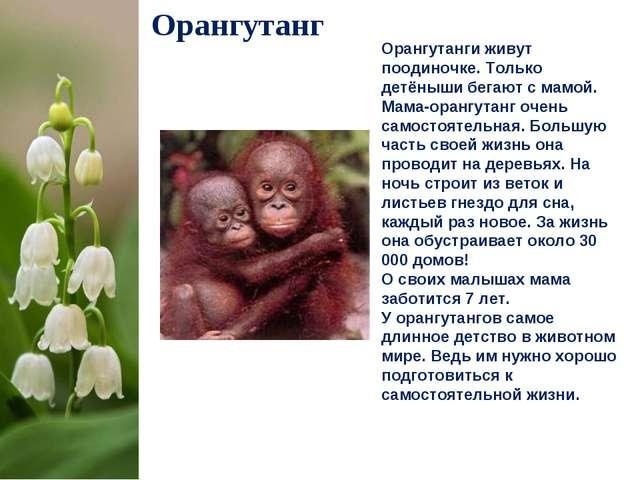 Орангутанг Орангутанги живут поодиночке. Только детёныши бегают с мамой. Мама...