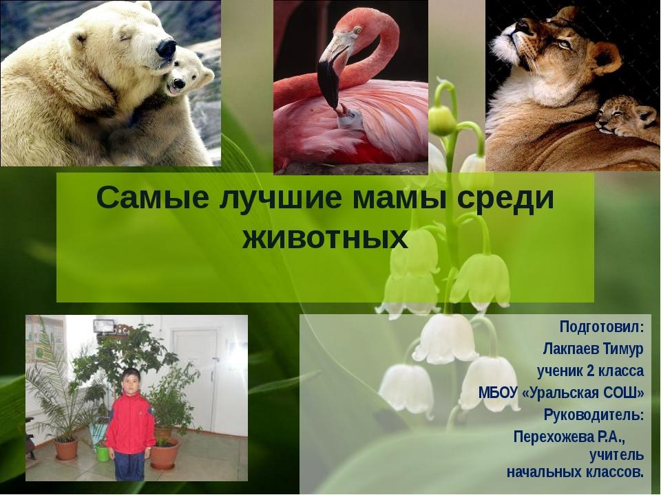 Самые лучшие мамы среди животных Подготовил: Лакпаев Тимур ученик 2 класса МБ...