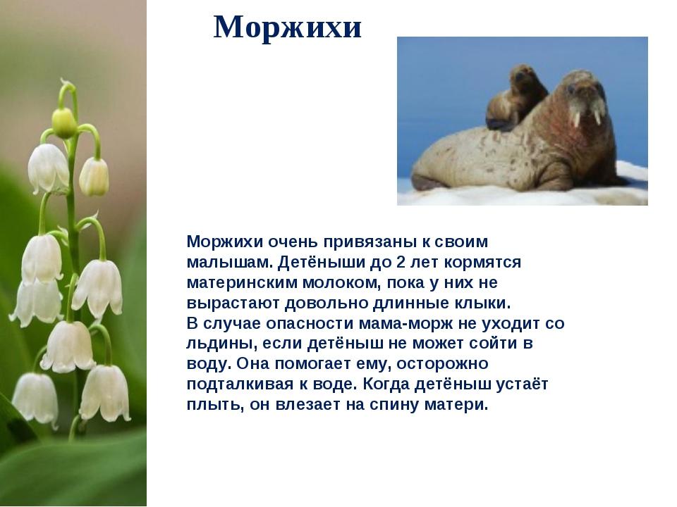 Моржихи Моржихи очень привязаны к своим малышам. Детёныши до 2лет кормятся м...