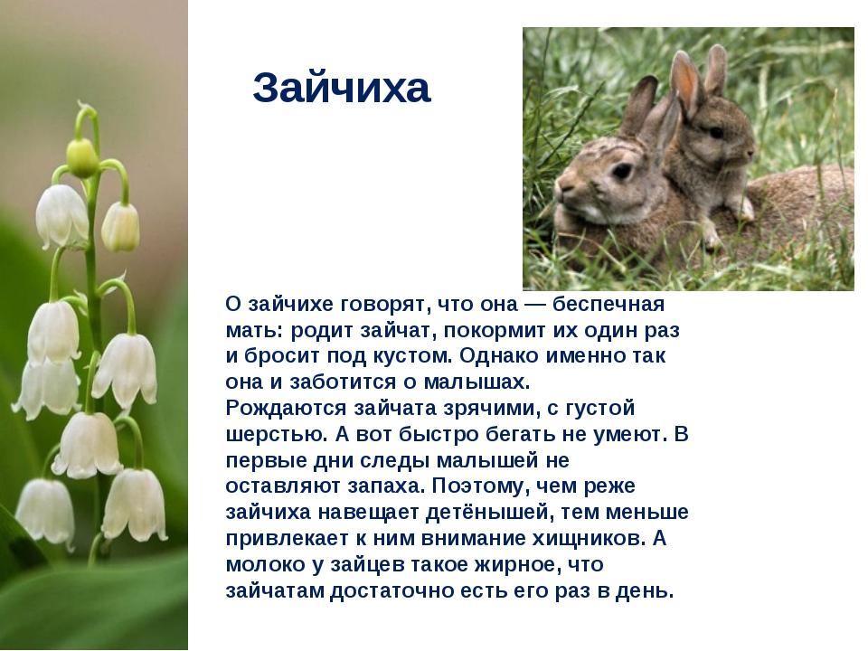 Зайчиха О зайчихе говорят, что она— беспечная мать: родит зайчат, покормит и...