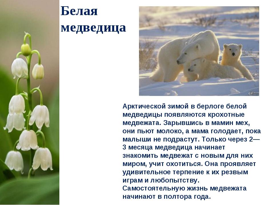 Белая медведица Арктической зимой в берлоге белой медведицы появляются крохот...