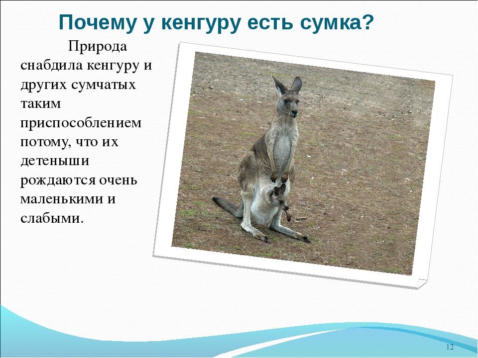 ae25b86c22b8 12 слайд Почему у кенгуру есть сумка? Природа снабдила кенгуру и других  сумчатых таки