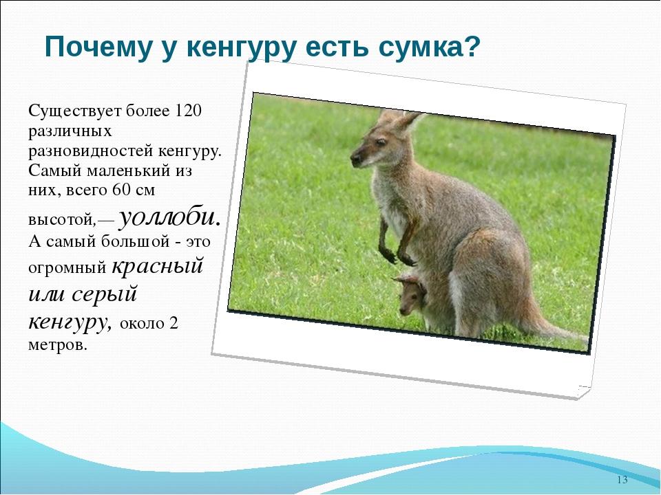 4e194b3417f2 13 слайд Почему у кенгуру есть сумка? Существует более 120 различных  разновидностей ке