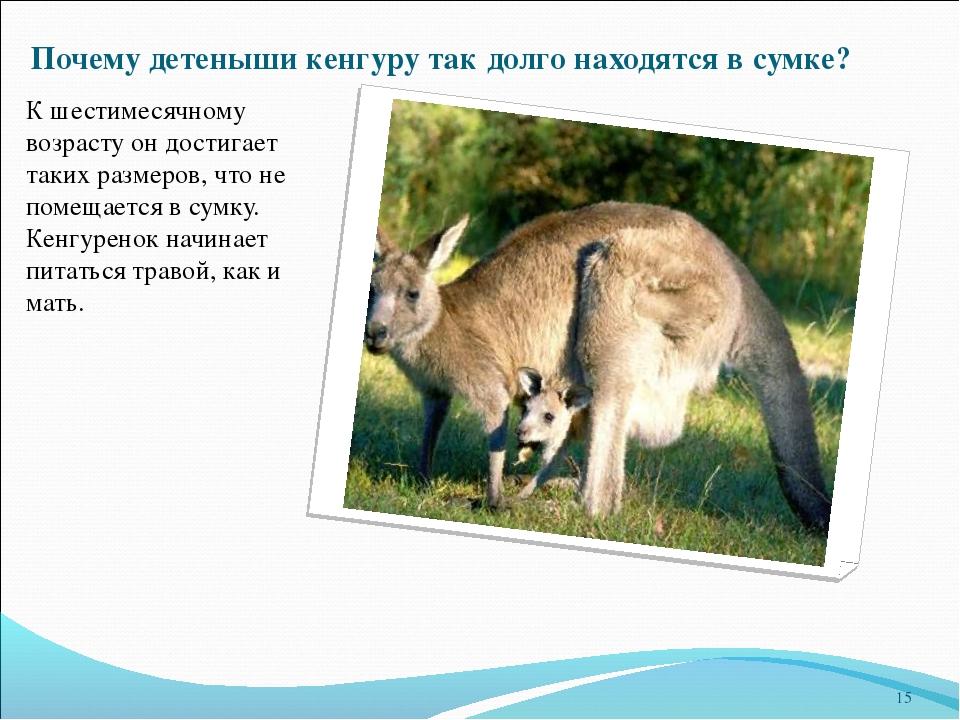 Почему детеныши кенгуру так долго находятся в сумке? К шестимесячному возраст...