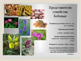 Представители семейства Бобовые Пищевые растения: фасоль, соя, нут, чечевица.