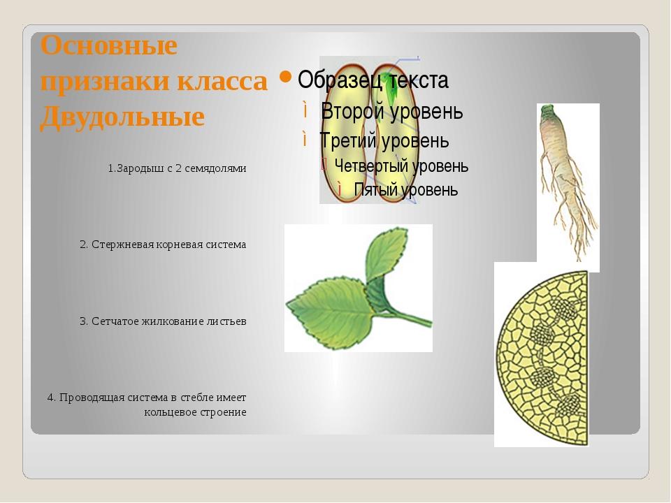 Основные признаки класса Двудольные 1.Зародыш с 2 семядолями 2. Стержневая ко...