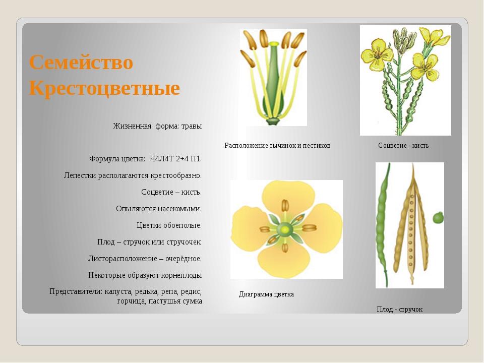 Семейство Крестоцветные Жизненная форма: травы Формула цветка: Ч4Л4Т 2+4 П1....