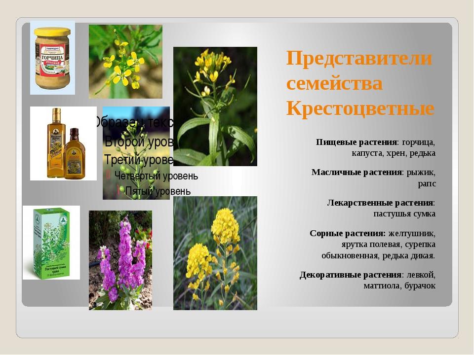 Представители семейства Крестоцветные Пищевые растения: горчица, капуста, хре...