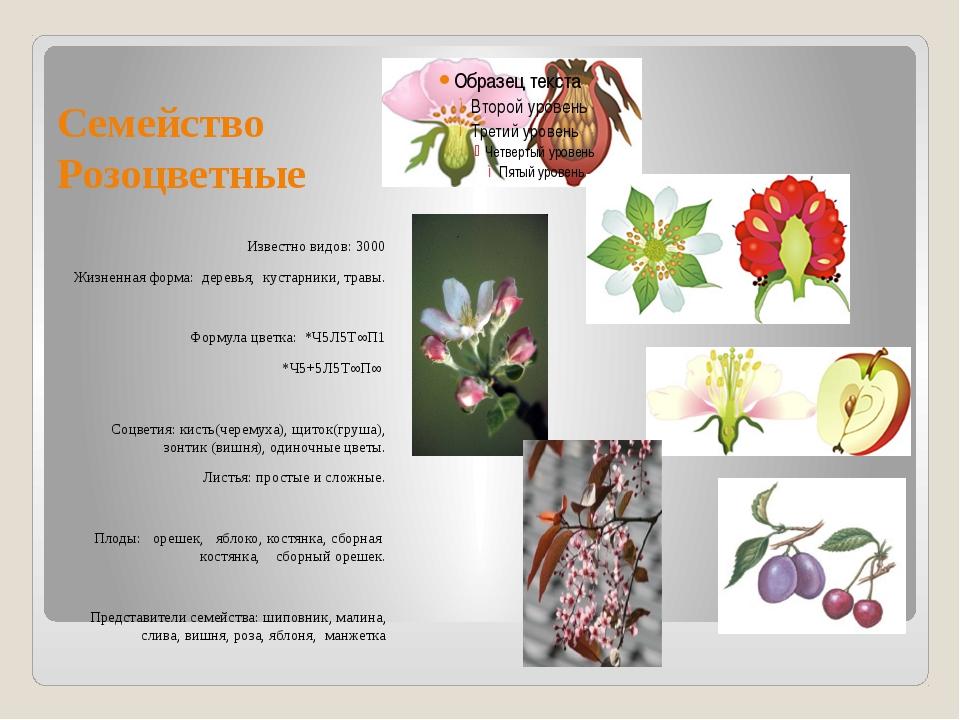 Семейство Розоцветные Известно видов: 3000 Жизненная форма: деревья, кустарни...