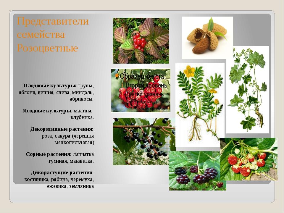 Представители семейства Розоцветные Плодовые культуры: груша, яблоня, вишня,...