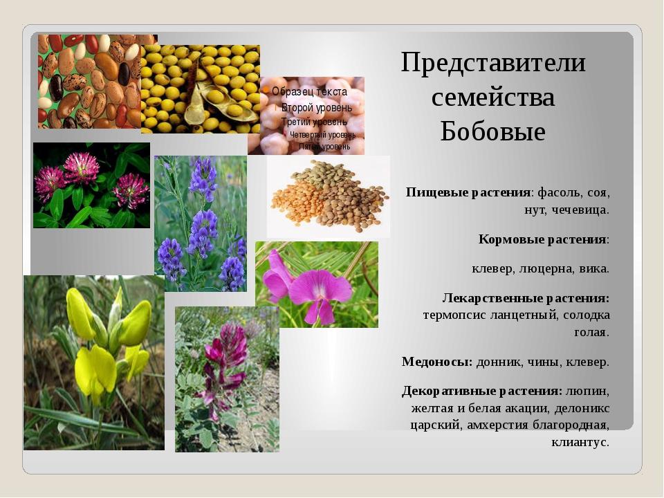 Представители семейства Бобовые Пищевые растения: фасоль, соя, нут, чечевица....