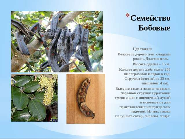 Семейство Бобовые Цератония Рожковое дерево или сладкий рожок. Долгожитель. В...