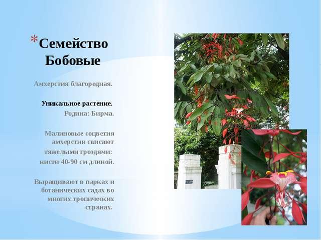 Семейство Бобовые Амхерстия благородная. Уникальное растение. Родина: Бирма....