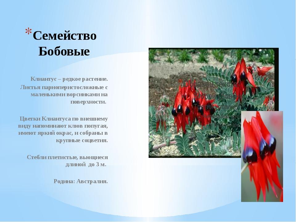Семейство Бобовые Клиантус – редкое растение. Листья парноперистосложные с ма...