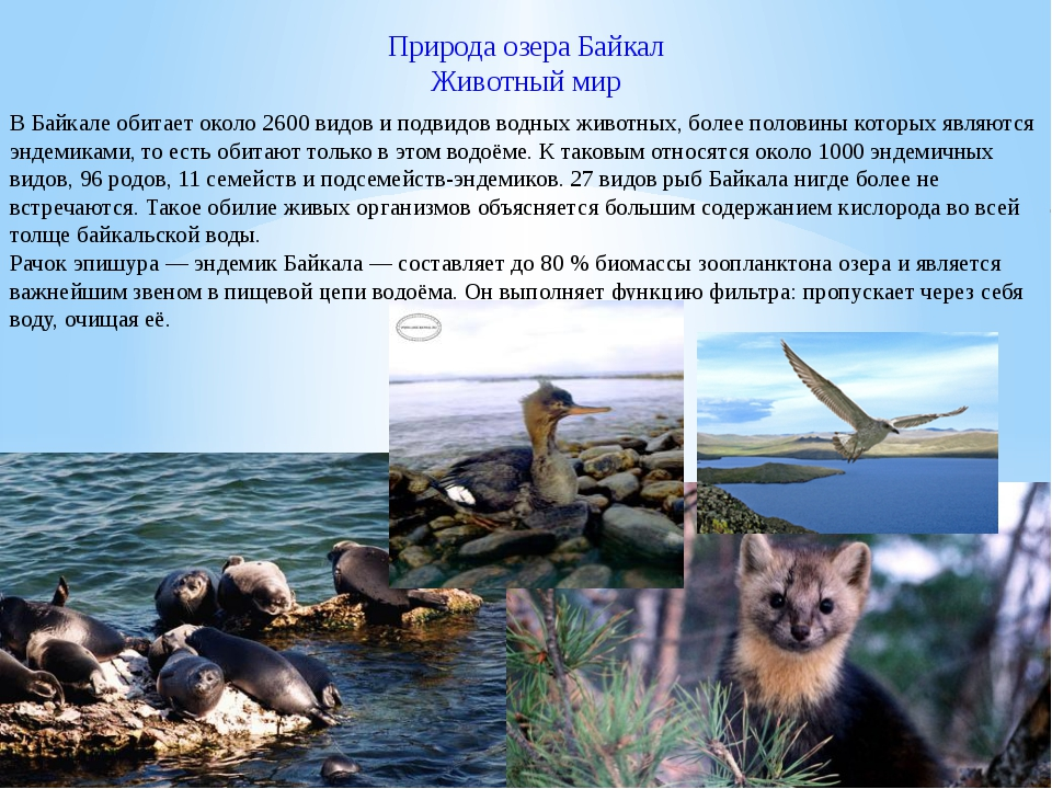 Природа озера Байкал Животный мир В Байкале обитает около 2600 видов и подвид...