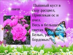 пион Пышный куст в саду расцвел, Привлекая ос и пчел. Весь в больших цвета