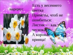 нарцисс Есть у весеннего цветка Приметы, чтоб не ошибиться: Листик — как у