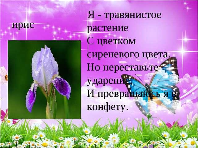 ирис Я - травянистое растение С цветком сиреневого цвета. Но переставьте у...