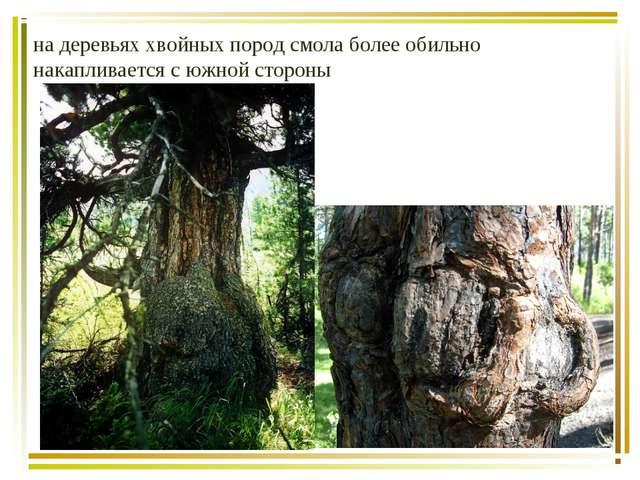 на деревьях хвойных пород смола более обильно накапливается с южной стороны