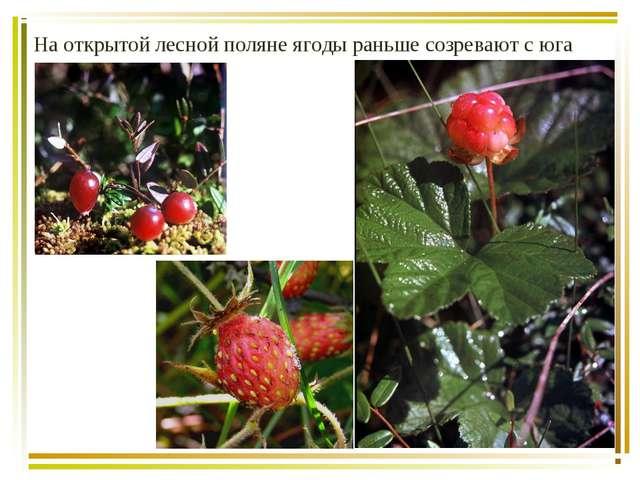 На открытой лесной поляне ягоды раньше созревают с юга