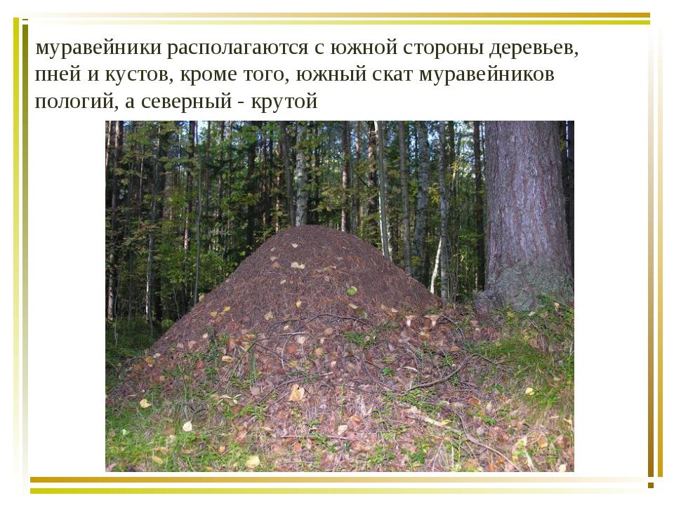 муравейники располагаются с южной стороны деревьев, пней и кустов, кроме того...