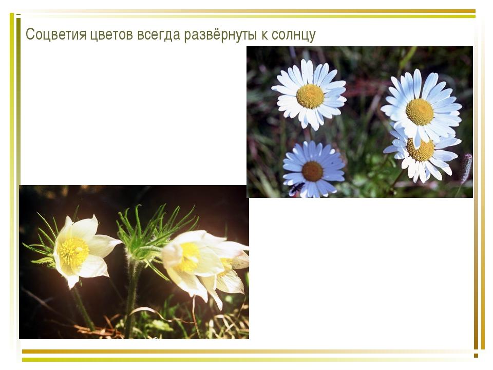 Соцветия цветов всегда развёрнуты к солнцу