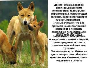 Динго - собака средней величины с крепким мускулистым телом рыже-бурого окрас