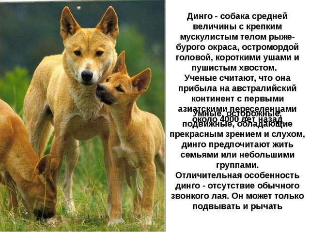 Динго - собака средней величины с крепким мускулистым телом рыже-бурого окрас...