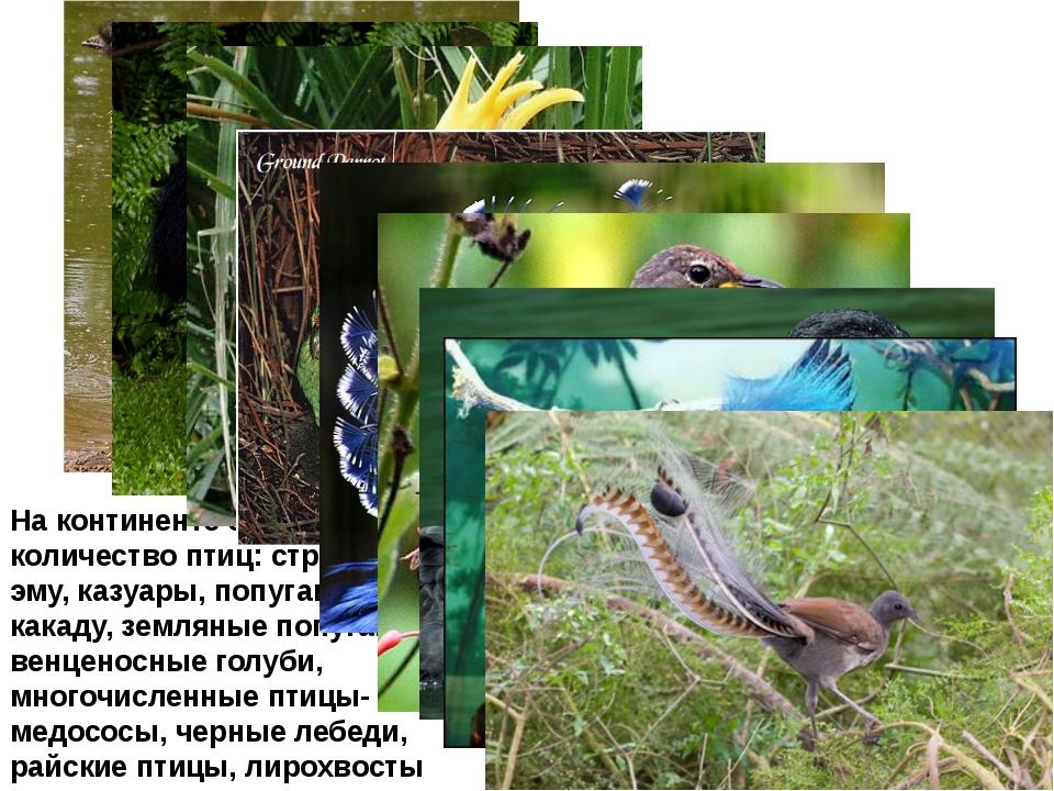 На континенте большое количество птиц: страусы эму, казуары, попугаи какаду,...