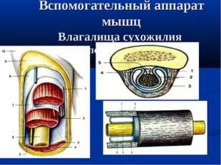 Вспомогательный аппарат мышц Влагалища сухожилия (поперечный разрез)