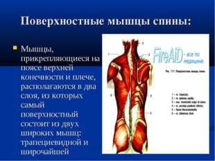 Поверхностные мышцы спины: Мышцы, прикрепляющиеся на поясе верхней конечност