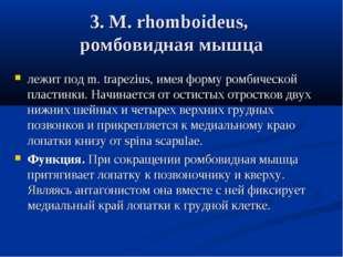 3. М. rhomboideus, ромбовидная мышца лежит под m. trapezius, имея форму ромби