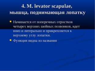 4. М. levator scapulae, мышца, поднимающая лопатку Начинается от поперечных о