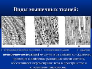 Виды мышечных тканей: а– исчерченная (поперечно-полосатая);б– неисчерченна