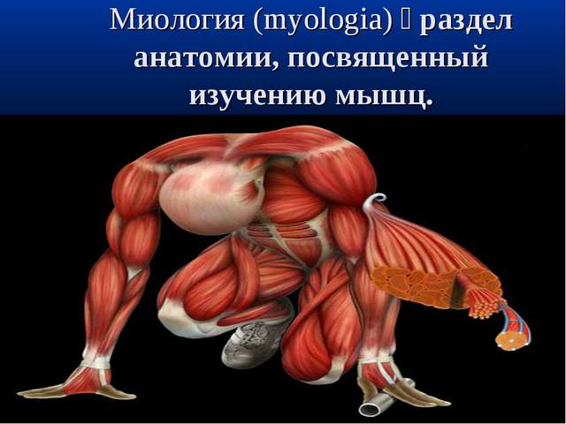 Миология (myologia) раздел анатомии, посвященный изучению мышц.